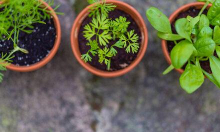Réussir le repiquage de jeunes plants