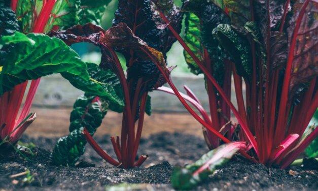 Cultiver de la betterave rouge